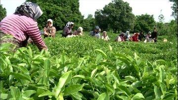 طعم خوش اشتغال در صنعت سبز چای