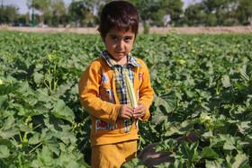 برداشت بامیه از مزارع شرق اصفهان    عکس مجتبی جهان بخش