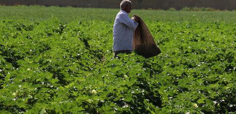 با تمام شدن فصل تابستان برداشت بامیه از مزارع کشاورزی شرق اصفهان شروع شد  عکس مجتبی جهان بخش