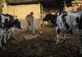 مزیت صادرات را برای تولیدکنندگان گوشت قرمز فراموش نکنیم/ آیا مشکل مرغداریها در دامپروری هم تجربه میشود؟