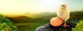 سایه سنگین قیمت نهادههای دامی بر مرغ و تخم مرغ/ زنجیره تولیدی که درحال گسستن است